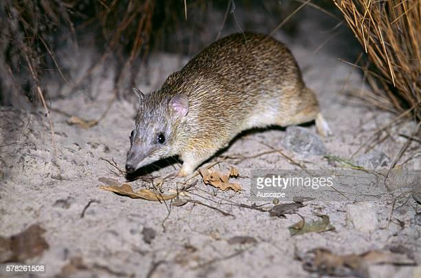 Golden bandicoot Isoodon auratus vulnerable species Top End Northern Territory Australia