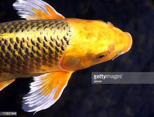 golden de beleza - koi carp - fotografias e filmes do acervo