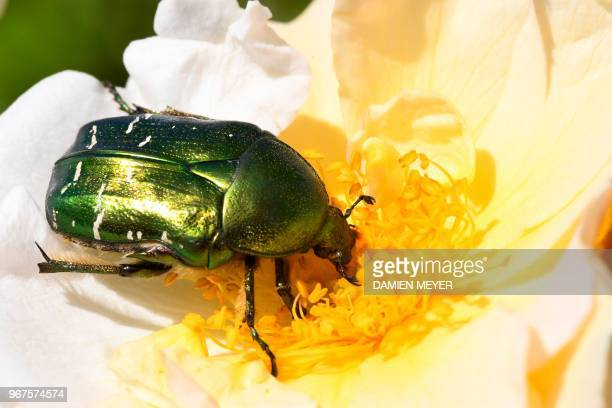 A golden beetle forages rose flower on June 2 in the French western city of HedeBazouges