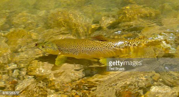 golden brown - brown trout stock pictures, royalty-free photos & images