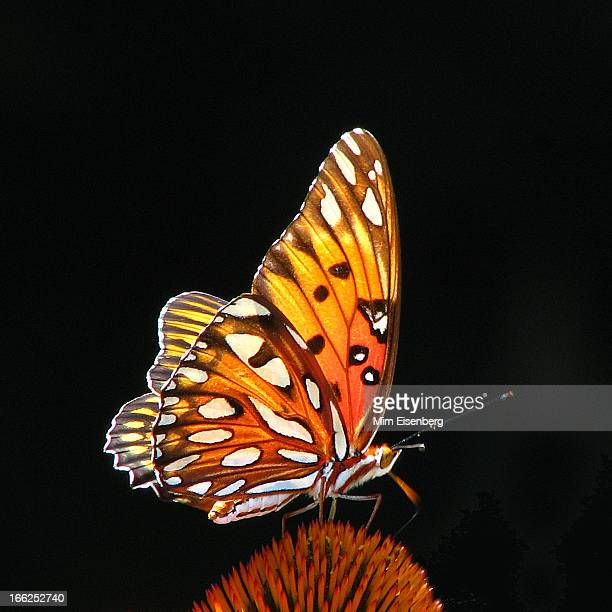 golden butterfly against black background - farfalle colorate foto e immagini stock