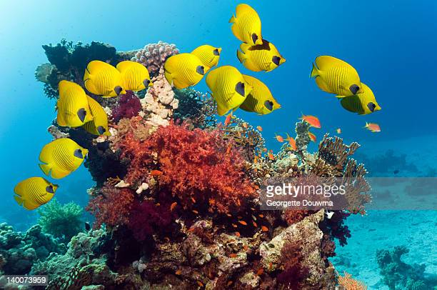 Golden butterflyfish over coral reef
