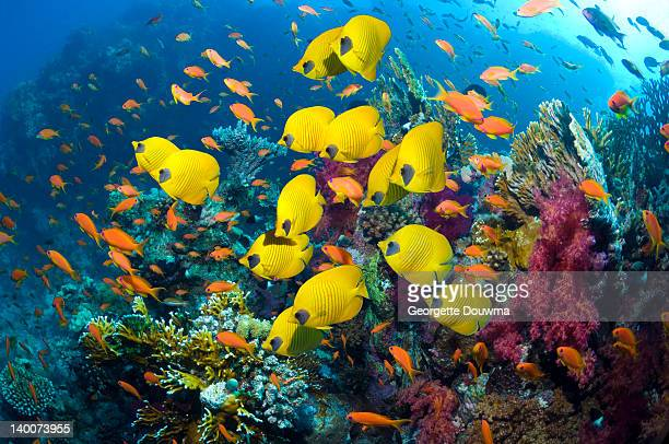 Golden butterflyfish swimming over coral reef