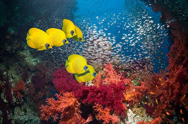 Golden butterflyfish with soft corals