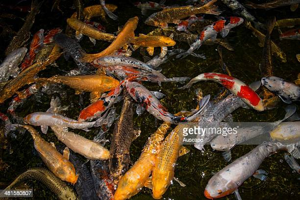 Golden carp also called Koi carp Carassius auratus in a garden pool culture of goldfish goes back to the sixth century when they were introduced from...