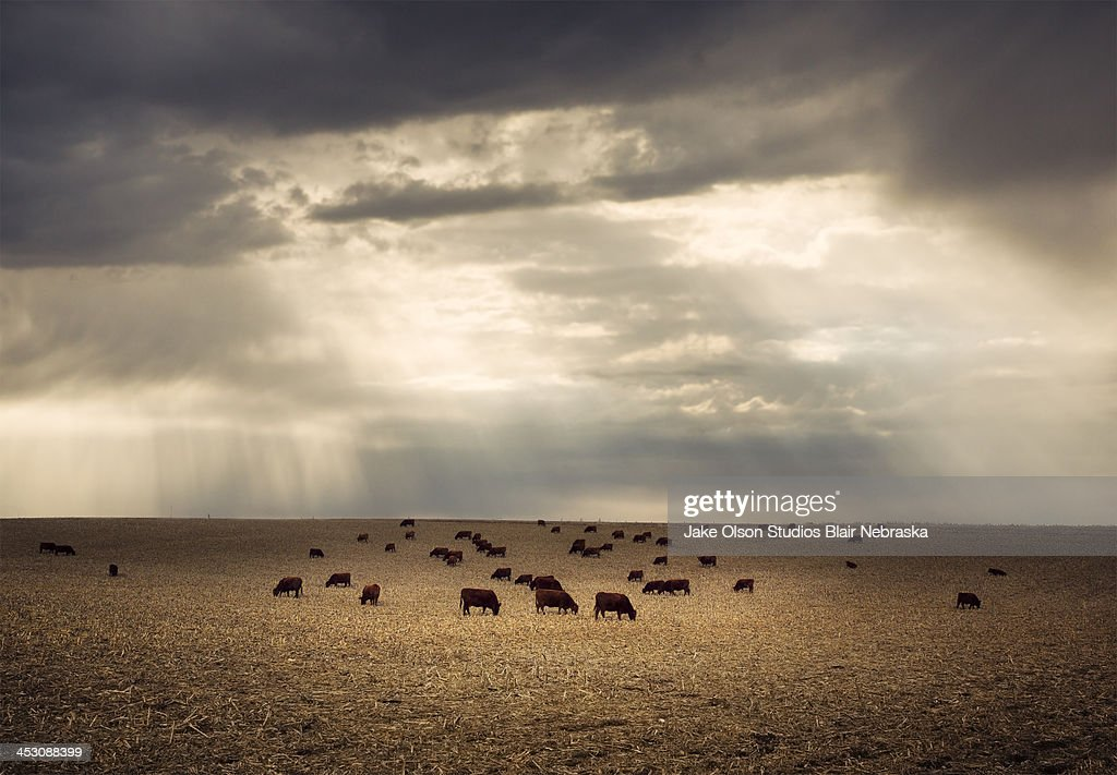 Golden cattle : Stock Photo