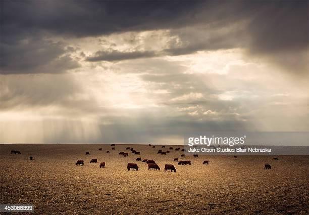 Golden cattle