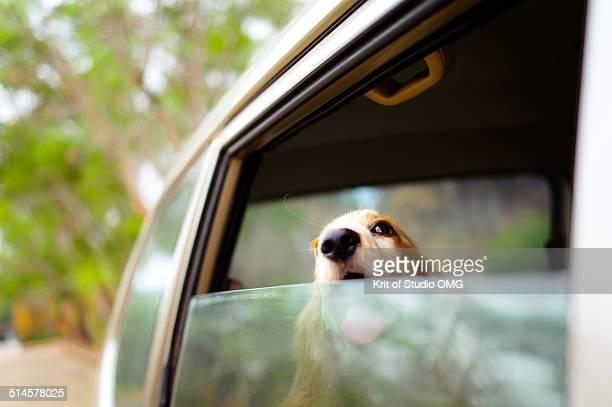 golden cocker spaniel at car's window - cocker spaniel foto e immagini stock