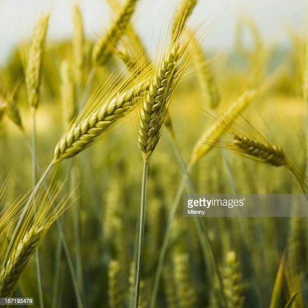 Golden Colored Barley Detail
