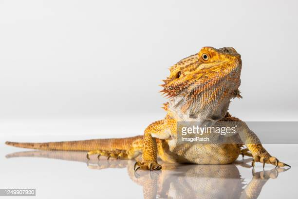 golden colored lizard posing for camera - bearded dragon stock pictures, royalty-free photos & images
