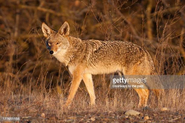 golden coyote - coyote stock pictures, royalty-free photos & images