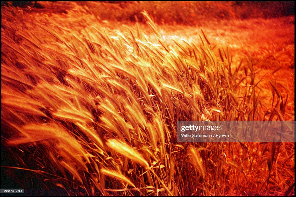 Golden Crops Bended By Wind : Foto stock