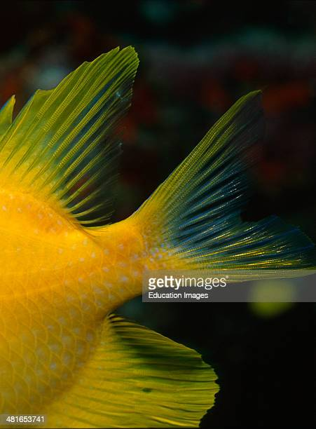 Golden damsel Amblyglyphidodon aureus clearly seen by the typical coloration and its body shape up to 12 cm long and has at depths up to 30 m