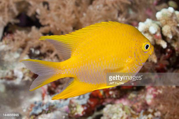 golden damsel fish on a tropical coral reef - damselfish stock photos and pictures