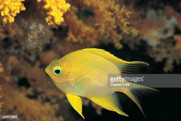 golden damsel (amblyglyphidolon aureus) - damselfish stock photos and pictures
