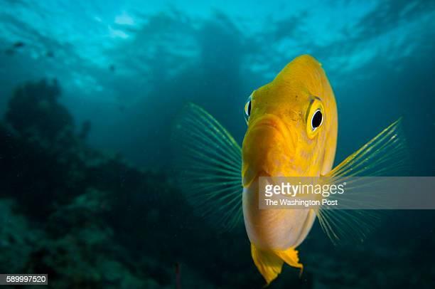 A golden damselfish displays for the camera Mabul Island Sabah Malaysia