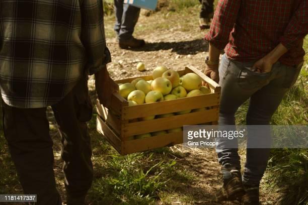 golden delicious apple harvest - トレンティーノ ストックフォトと画像