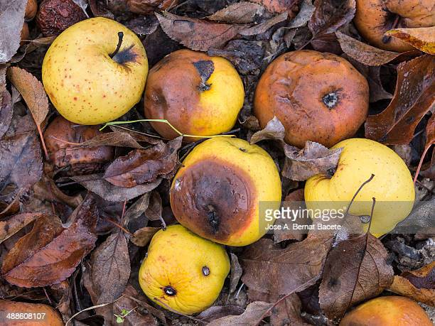 Golden delicius rotten apples on the ground