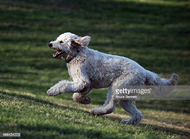 Golden Doodle dog plays at Coindre Hall on April 21, 2014 in Huntington, New York.