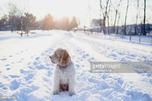 Golden doodle dog sitting in the snow