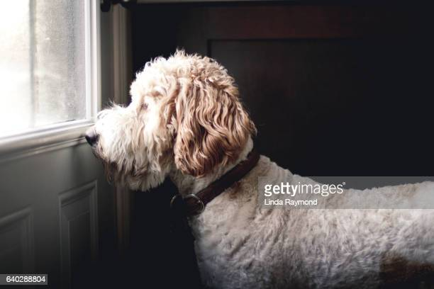 golden doodle dog waiting  to go outside in front of a closed door - waiting stock pictures, royalty-free photos & images