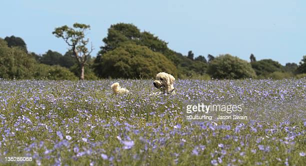 golden doodle in flower fields - s0ulsurfing stock-fotos und bilder