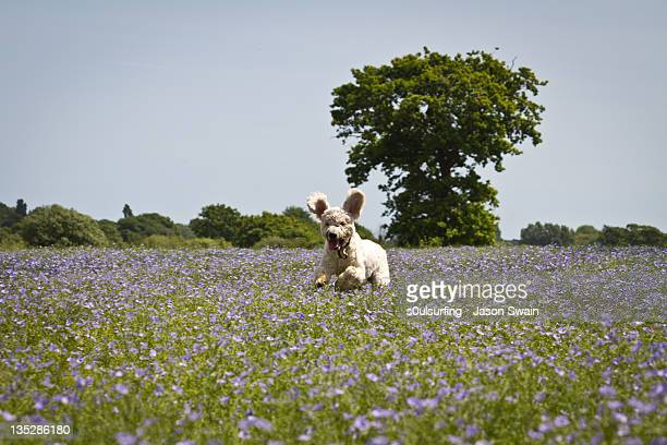 golden doodle in flower fields - s0ulsurfing stock pictures, royalty-free photos & images