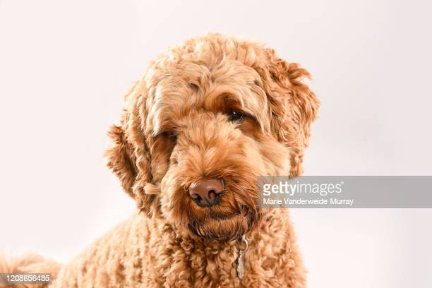 golden doodle - goldendoodle stock-fotos und bilder