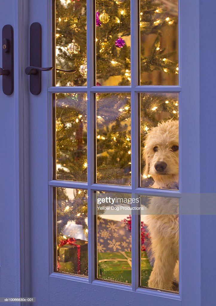 Golden Doodle Puppy Looking Out Glass Door With Christmas Tree