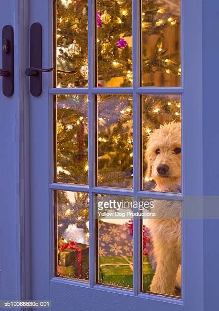 Golden Doodle puppy looking out glass door with Christmas tree behind