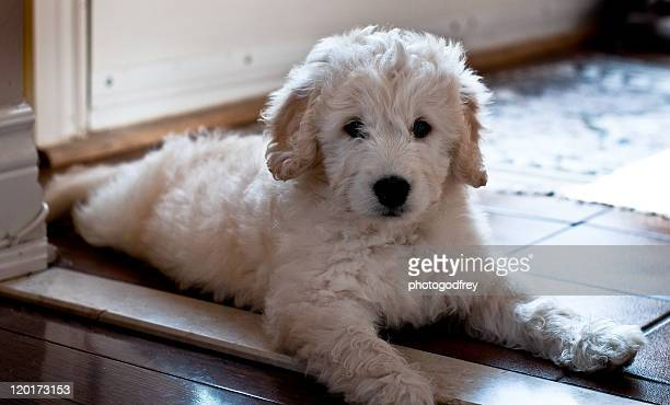 golden doodle puppy - goldendoodle stock-fotos und bilder