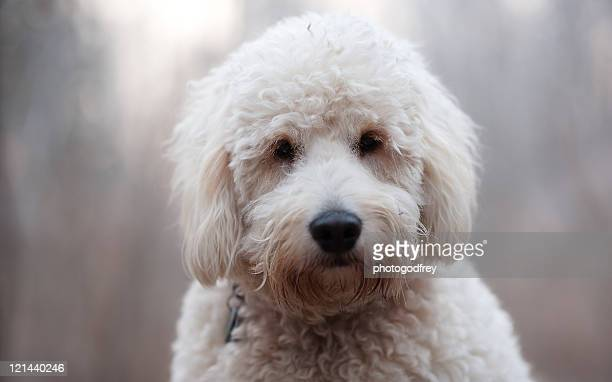golden doodle puppy - goldendoodle stock photos and pictures