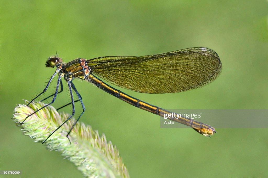 Golden dragonfly. : News Photo