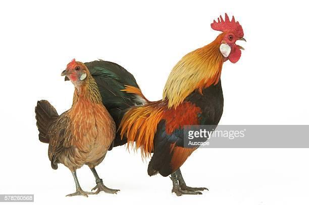 Golden Dutch bantam Gallus gallus domesticus rooster and hen