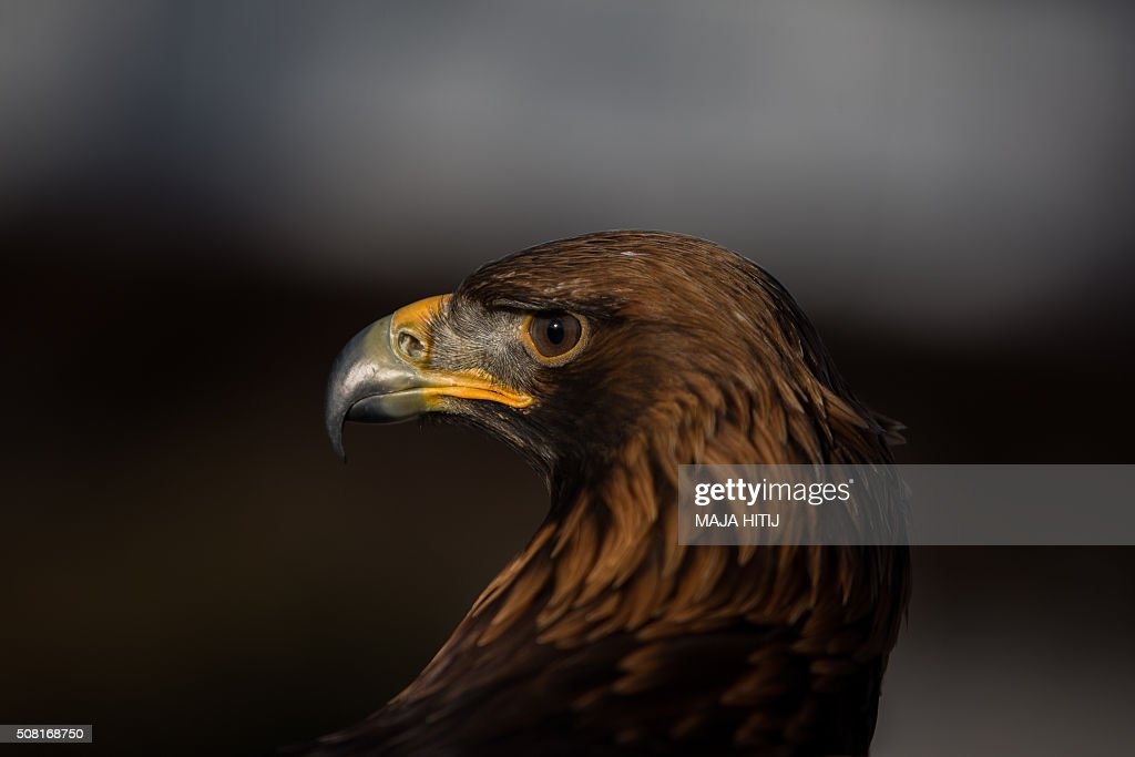 A golden eagel is pictured on February 3, 2016 in Dortmund during a « Hunter & Dog » and « Fish & Duck » Fair. The fair takes place from 9-14 February. / AFP / dpa / Maja Hitij / Germany OUT