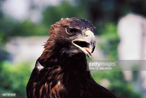 Golden eagle Accipitridae