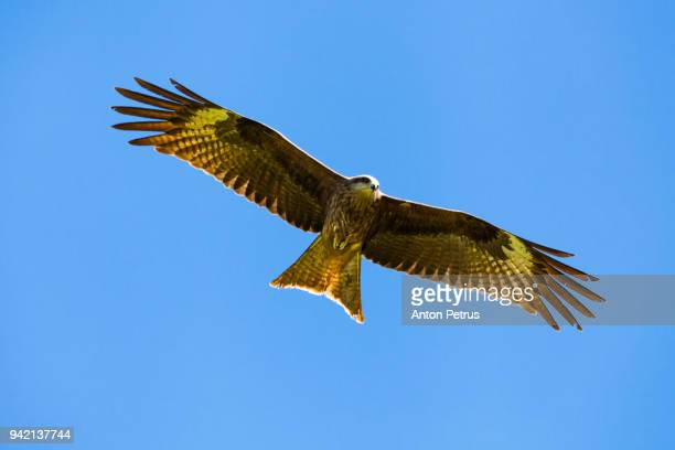 golden eagle against the blue sky - aguila real fotografías e imágenes de stock