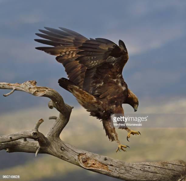Golden eagle approaching a dead tree