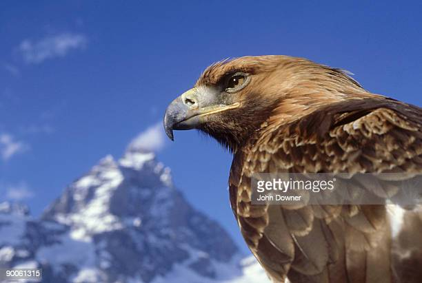 golden eagle: aquila chrysaetos  by matterhorn  switzerland - aguila real fotografías e imágenes de stock