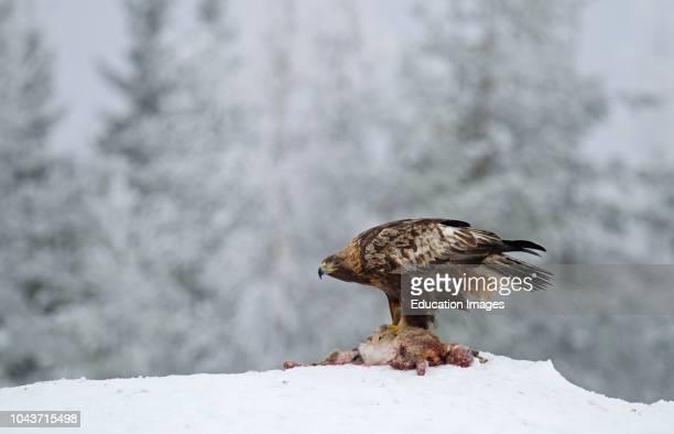 Golden Eagle Aquila chrysaetos Finland winter