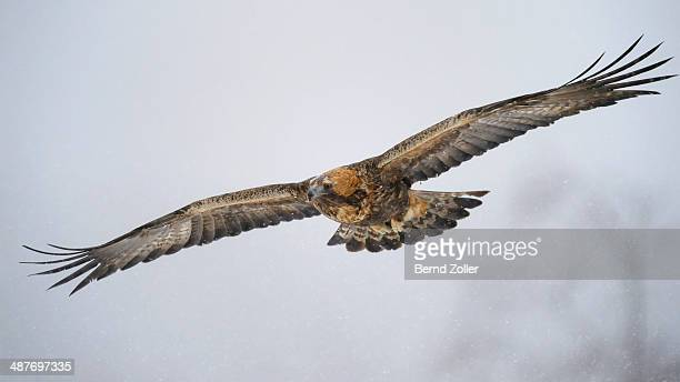 Golden Eagle -Aquila chrysaetos- in flight during snowfall, Oulanka National Park, Kuusamo, Lapland, Finland