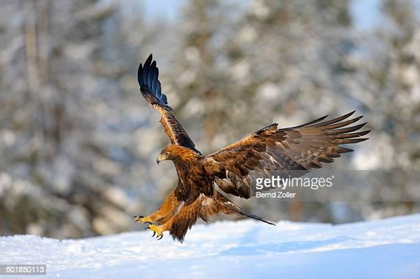 Golden Eagle -Aquila chrysaetos- in flight, landing at a bait place, Kainuu, Utajarvi, Nordfinnland, Finland