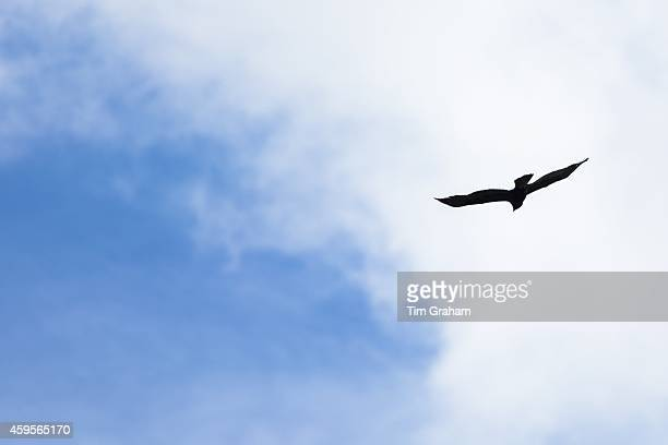 Golden Eagle Aquila chrysaetos in flight with wings outstretched soaring high in the sky above Glen More on Isle of Mull in the Inner Hebrides and...