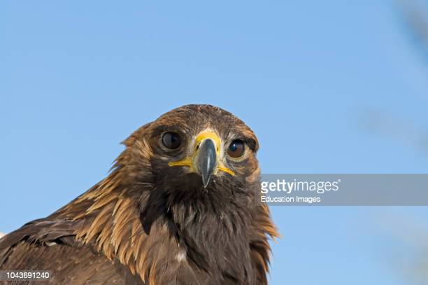 Golden Eagle, Aquila chrysaetos, Norway.