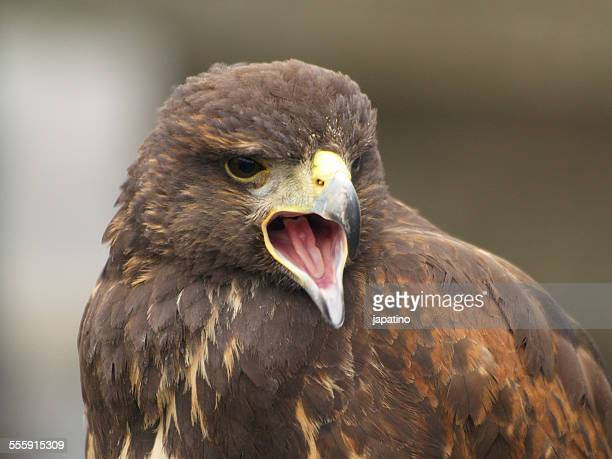 Golden eagle. Aquila chrysaetos