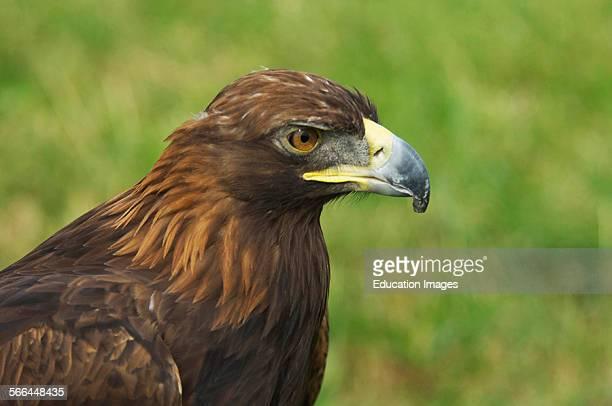 Golden Eagle Aquila chrysaetos Tollerton Nottingham