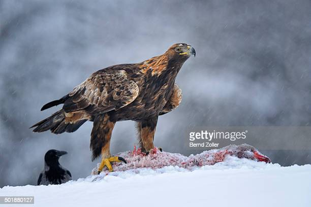 Golden Eagle -Aquila chrysaetos- with bait and a Hooded Crow -Corvus corone cornix- during a blizzard, Kainuu, Utajarvi, Nordfinnland, Finland