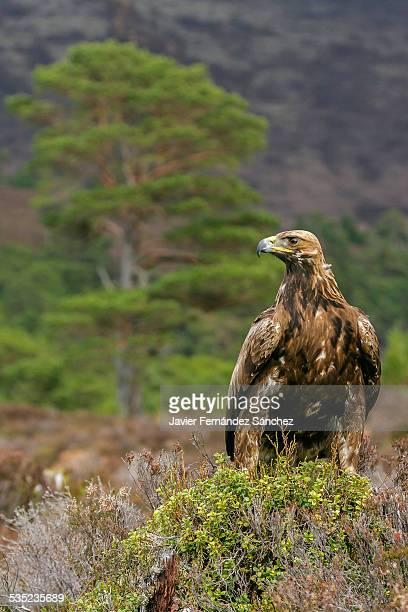 Golden eagle, Aquila chysaetos