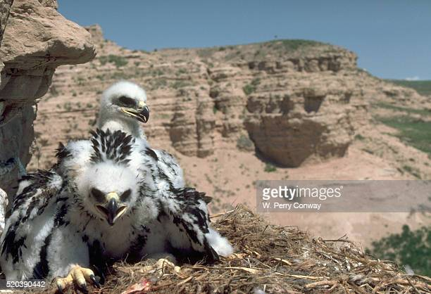 golden eagle chicks in a nest - eagle nest stock photos and pictures