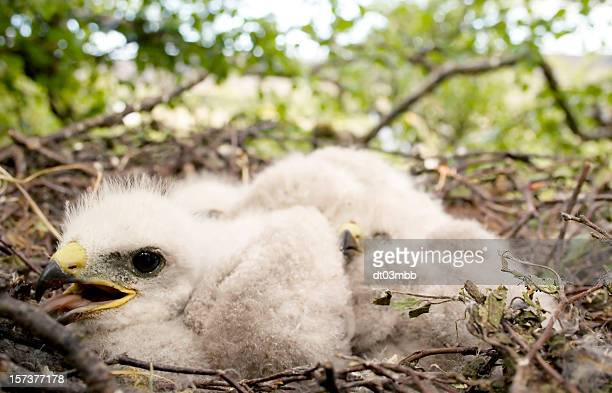 golden eagle chicks - eagle nest stock photos and pictures